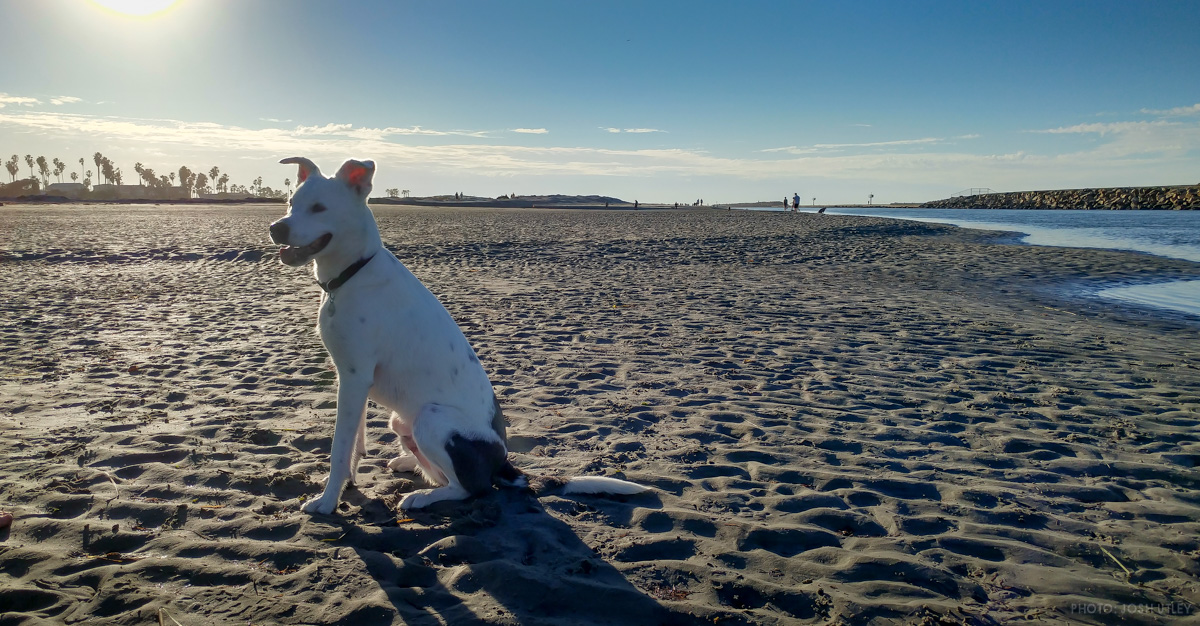 Archie the unofficial Dog Beach mascot